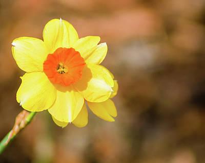Photograph - Daffodil by Lynne Jenkins