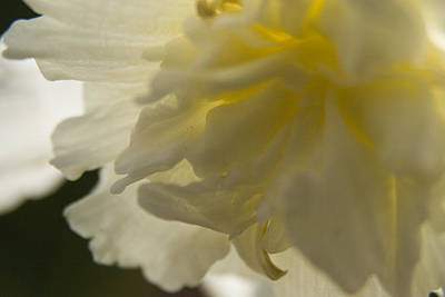 Photograph - Daffodil  by Margaret Denny