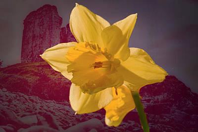 Photograph - Daffodil Minnard #f9 by Leif Sohlman