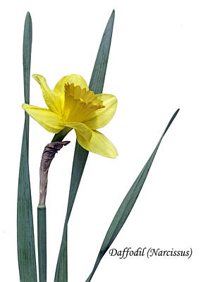 Photograph - Daffodil - Narcissus by Nikolyn McDonald