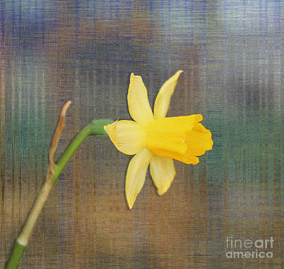 Photograph - Daffodil On Digital Linen by Nina Silver