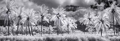 Infra-red Photograph - Daffodil Palms by Sean Davey