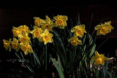 Photograph - Daffodil Party by Donna Kennedy