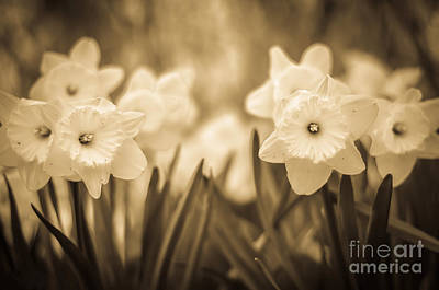 Photograph - Daffodil Patch Sepia by Alissa Beth Photography