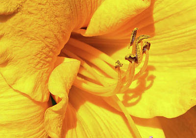 Photograph - Daffodil - Peeping Tom 02 by Pamela Critchlow