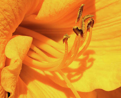 Photograph - Daffodil - Peeping Tom 04 by Pamela Critchlow