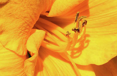 Photograph - Daffodil - Peeping Tom 06 by Pamela Critchlow