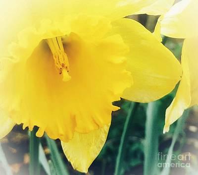 Photograph - Daffodil by Rachel Hannah