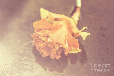 Rot Photograph - Daffodil Reflections  by Jorgo Photography - Wall Art Gallery
