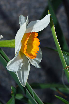 Photograph - Daffodil Season       2 by Margie Avellino