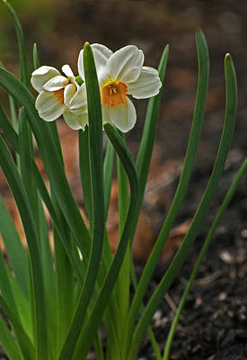 Photograph - Daffodil Spring by Elsa Marie Santoro