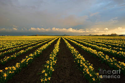 Art Print featuring the photograph Daffodil Storm by Mike Dawson