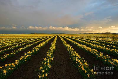 Daffodils Photograph - Daffodil Storm by Mike Dawson