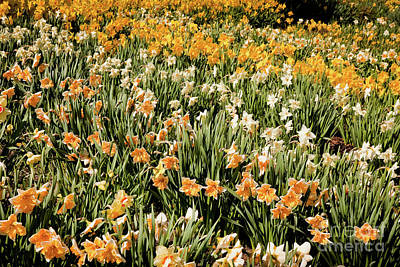 Photograph - Daffodil Stripes by Susan Cole Kelly