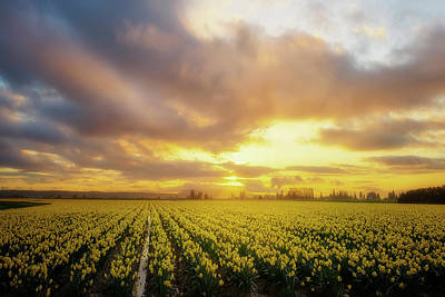 Photograph - Daffodil Sunset by Ryan Manuel
