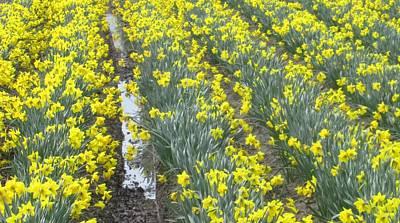 Photograph - Daffodil Time by Karen Molenaar Terrell