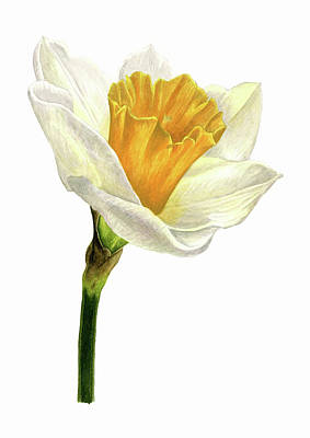 Painting - Daffodil Watercolor by Taylan Apukovska