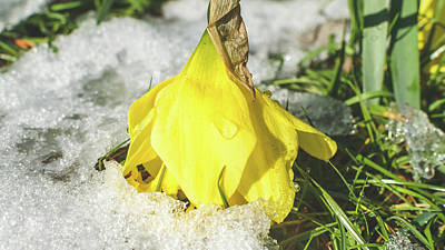 Photograph - Daffodil Wilting In The Snow by Jacek Wojnarowski