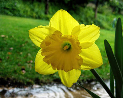 Photograph - Daffodile In The Rain by Dorothy Cunningham