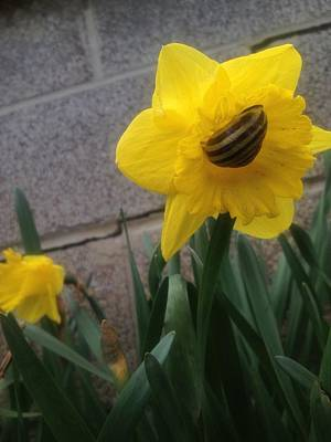 Photograph - Daffodilling Snail Vers 1 by Iris Newman