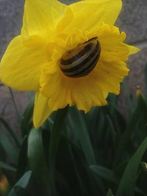Photograph - Daffodilling Snail Vers 3 by Iris Newman