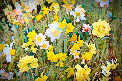 Photograph - Daffodils 13 by Pamela Cooper