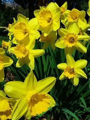 Photograph - Daffodils 2010 by Anna Villarreal Garbis