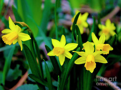 Daffodils A Symbol Of Spring Art Print