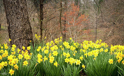 Photograph - Daffodils Among The Trees by Phil Rispin