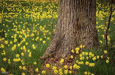 Photograph - Daffodils And Tree by Phil Rispin