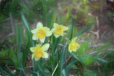 Photograph - Daffodils At Large by Rena Trepanier
