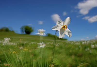 Photograph - Daffodils Blossimg At Cavalla Plains 2017 I - Fioritura Dei Narcisi Al Pian Della Cavalla 2017 by Enrico Pelos