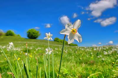 Photograph - Daffodils Blossimg At Cavalla Plains 2017 II - Fioritura Dei Narcisi Al Pian Della Cavalla 2017 by Enrico Pelos