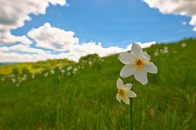 Photograph - Daffodils Blossimg At Cavalla Plains 2017 IIi - Fioritura Dei Narcisi Al Pian Della Cavalla 2017 by Enrico Pelos