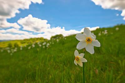 Photograph - Daffodils Blossimg At Cavalla Plains 2017 Iv - Fioritura Dei Narcisi Al Pian Della Cavalla 2017 by Enrico Pelos