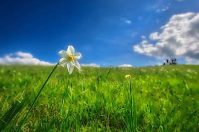 Photograph - Daffodils Blossimg At Cavalla Plains 2017 Vi - Fioritura Dei Narcisi Al Pian Della Cavalla 2017 by Enrico Pelos