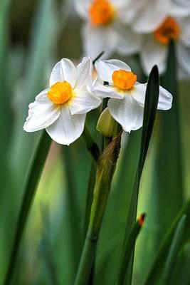Photograph - Daffodils by Carol Montoya