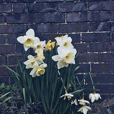 Warwickshire Wall Art - Photograph - #daffodils #daffs #walls #dark #monday by Emma Gillett