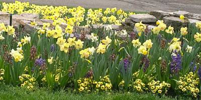 Cheekwood Photograph - Daffodils  by Gayle Miller