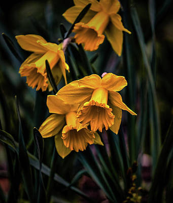 Photograph - Daffodils #h5 by Leif Sohlman