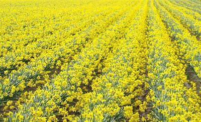 Photograph - Daffodils In Rows by Karen Molenaar Terrell