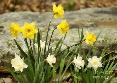 Photograph - Daffodils In The Garden by Alana Ranney