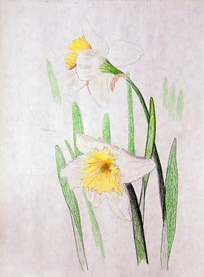 Drawing - Daffodils by J R Seymour