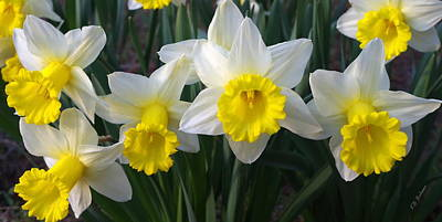 Photograph - Daffodils by Kevin Bohner