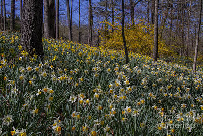 Photograph - Daffodils On A Hill by Barbara Bowen