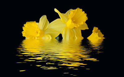 Photograph - Floating Daffodils  by Geraldine Alexander