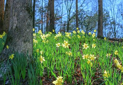 Daffodils On Hillside 2 Art Print