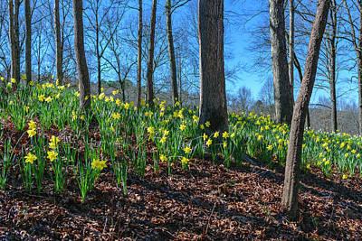 Daffodils On Hillside Art Print