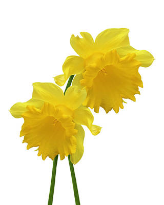Photograph - Daffodils On White by Gill Billington