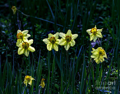 Photograph - Daffodils One by Ken Frischkorn